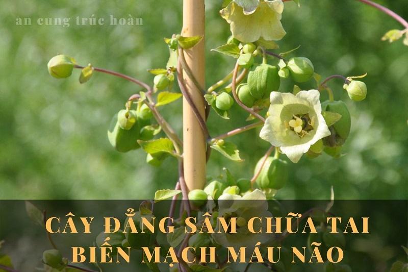 Tác dụng chữa tai biến của cây đẳng sâm trong An Cung Trúc Hoàn